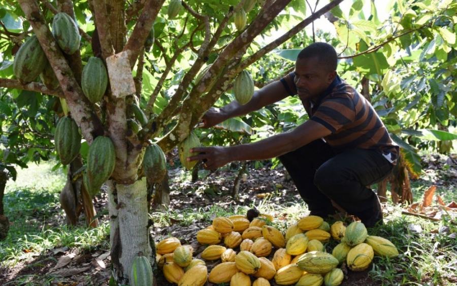 Le prix bord champ du cacao maintenu à 700 FCFA par kilo pour la saison 2017-18 — Côte d'Ivoire