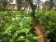 Caféculture : Une nouvelle variété prése...