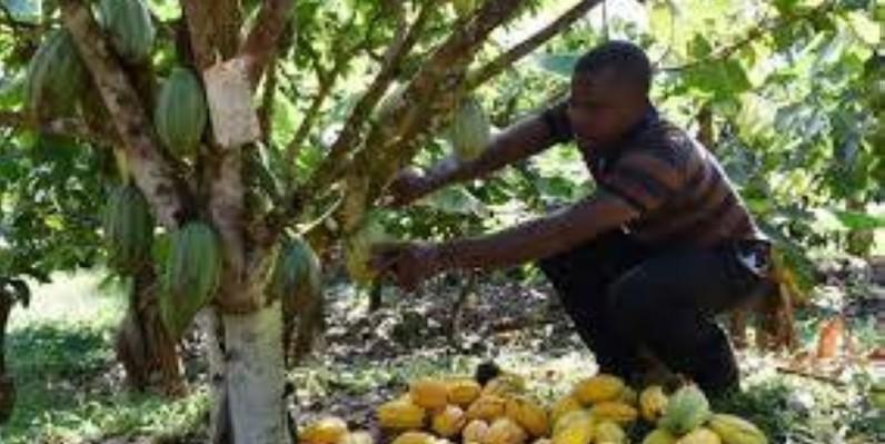Le cacao ivoirien est très prisé à travers le monde. (DR)