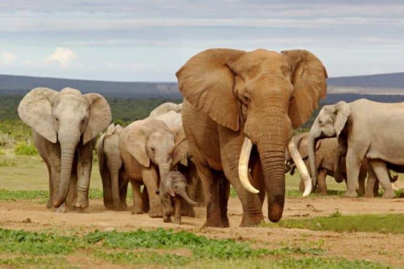 Tanzanie, l'effectif d'éléphants est passé de 109 000 spécimens à 43 000 (DR)