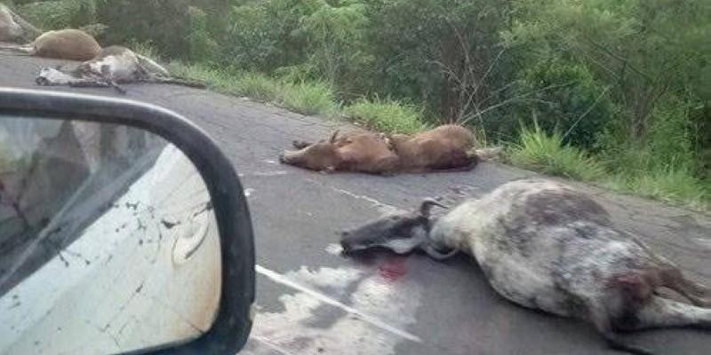 Une vue de bœufs fauchés par le véhicule. (DR)