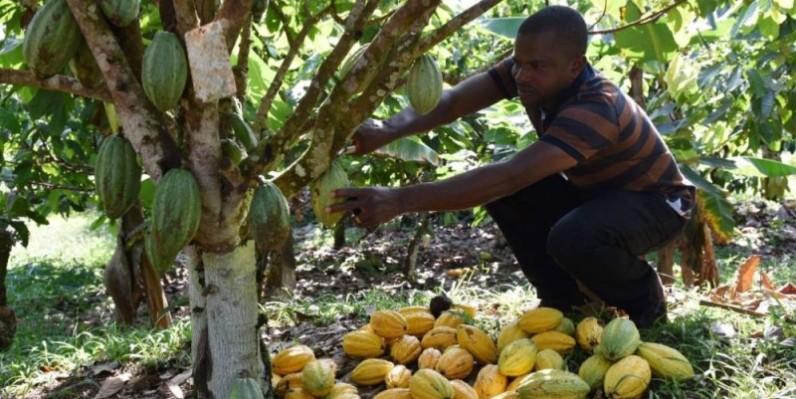 La culture du cacao est à la base de 30% de la déforestation en Côte d'Ivoire. (DR)