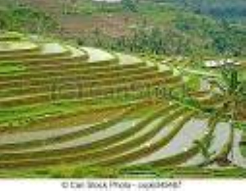 Champs de riz. (DR)
