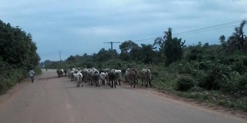 Une vue d'un troupeau de bœufs. (DR)