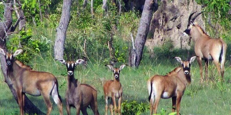 Un troupeau d'hippotragues dans le parc national de la Comoé. (DR)