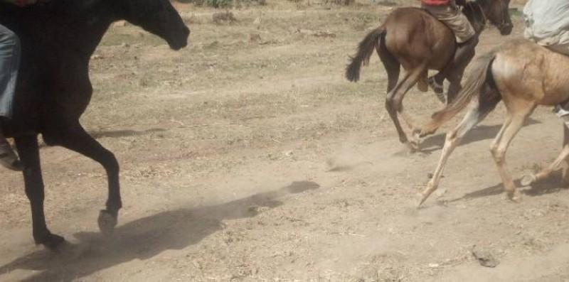 Une vue de chevaux dans les rues de Ferkessedougou. (DR)