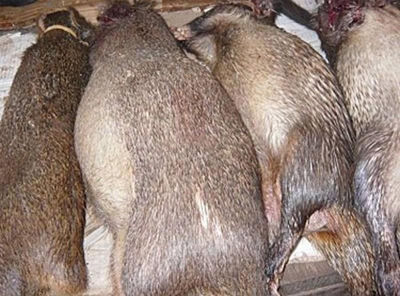 En Côte d'Ivoire, le gouvernement interdit la consommation de la viande de brousse.