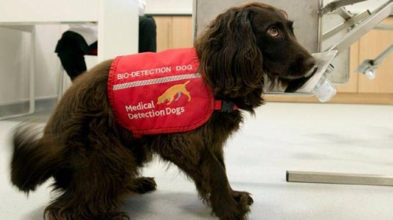 Un chien renifleur pour détecter une personne atteinte du coronavirus. (DR)