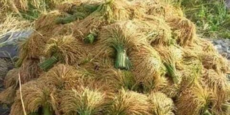 Le riz est produit en grande quantité dans la sous-préfecture de Tortiya. (DR)