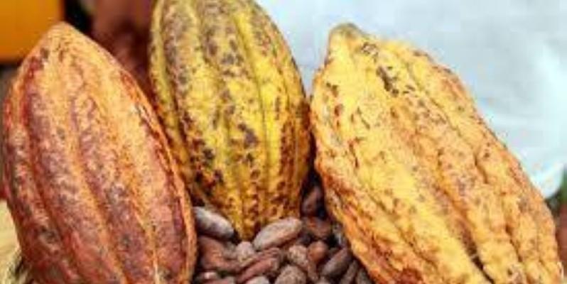 Cacao de Côte d'Ivoire. (DR)