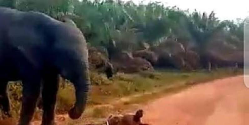 L'éléphant solitaire dans la zone de Divo en train de détruire une bicyclette. (DR)