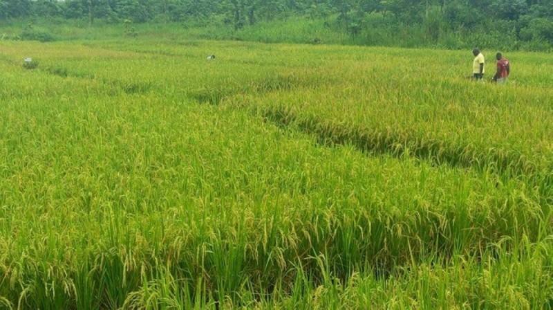 La Côte d'Ivoire dispose de nombreux bassins propices à la production du riz. (DR)