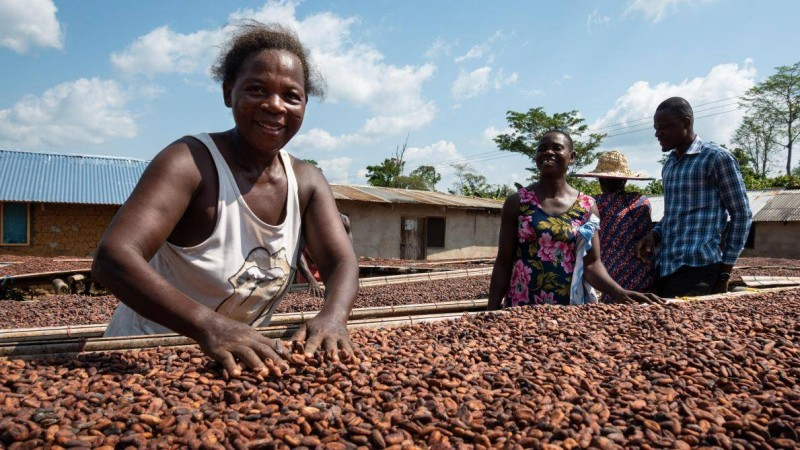 """""""Le plus grand impact positif pour les agriculteurs et la meilleure manière de les inciter à pratiquer une agriculture durable est de fournir un prix équitable pour le cacao"""". (Rapport)"""