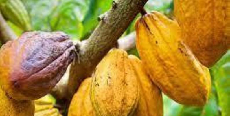 Une vue de cabosses de cacao mûres