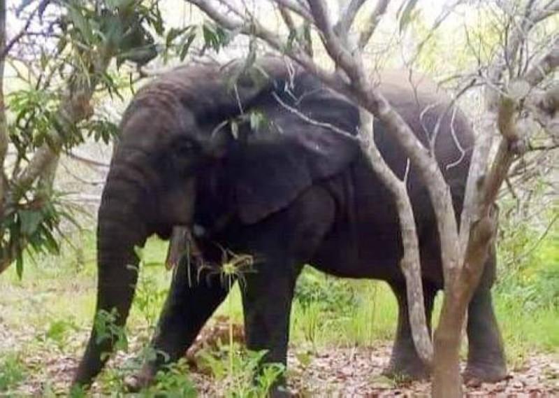 L'éléphant qui trouble la quiétude des population de Gbamélédougou. (Photo : AIP)