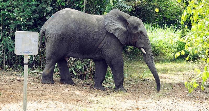 Hamed, l'éléphant solitaire continue de faire des siennes dans les villages du Hambol. (DR)